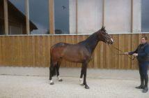 holsteiner-wallach-5jahre-168-cm-dunkelbrauner-springpferd-ellwangen-(jagst)-1445629_1